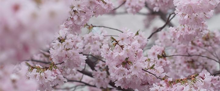 Bunga Sakura di Parc de Sceaux