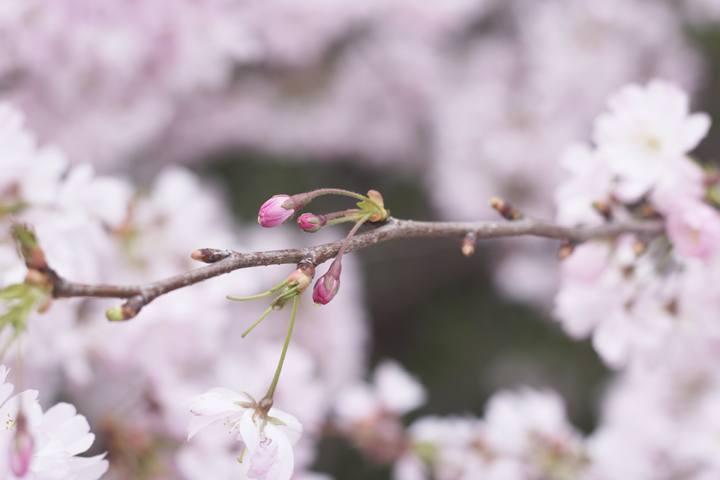 Bunga musim semi