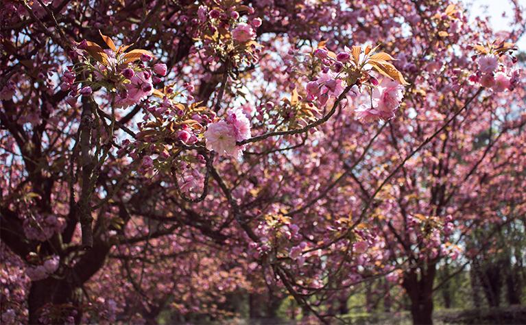 bunga-sakura-di-parc-de-sceaux-thumb